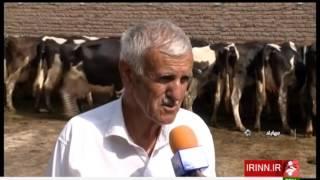 Iran Khanegah village, Mahabad county, Raising Dairy Cows پرورش گاوهاي شيرده روستاي خانگه ايران