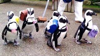 ケープペンギンがランドセル姿で散歩 松江
