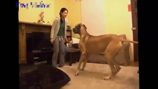 Funny videos Animal   Funny dogs ,Funny Cat 2016   Dog and Girls   Funny videos