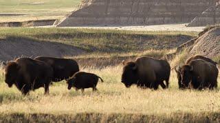 Buffalo Returns