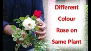 Easy way to graft rose: Multiple color flower on single rose plant