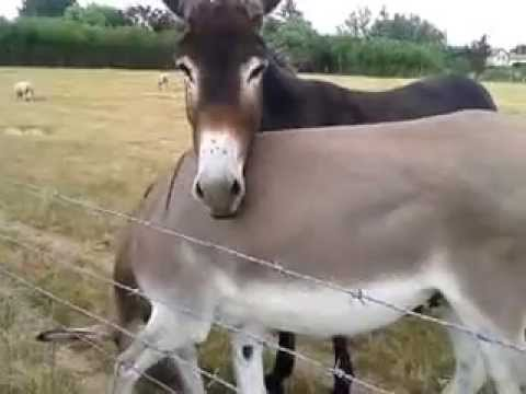 Donkeys at le Molard