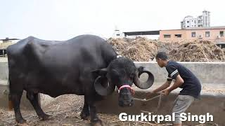 8 Jafarabadi Buffalo from Sajid Bhai Aurangabad
