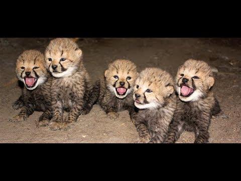 The Miracle Cheetah (Sub Indonesia) - NAT GEO WILD
