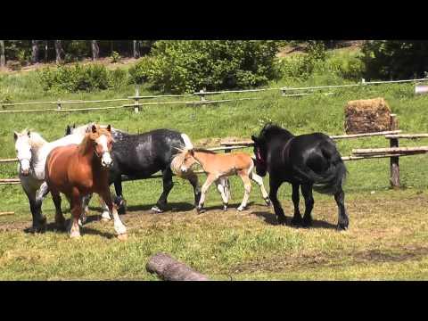 Niespokojne stado koni.
