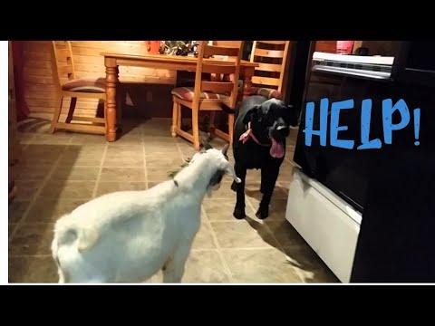 Dog meets a goat