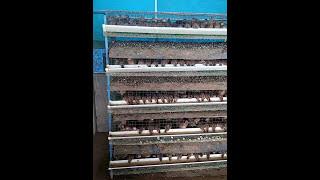 Hi tech kaada ( quail) farm setting . Sunil 7736773720