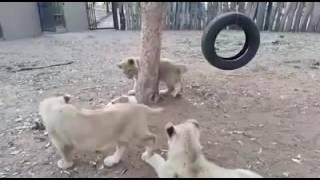 Daring dog ...tigers aslo get away