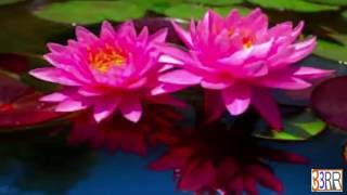National Flower  Water Lily 'Sapla' of Bangladesh