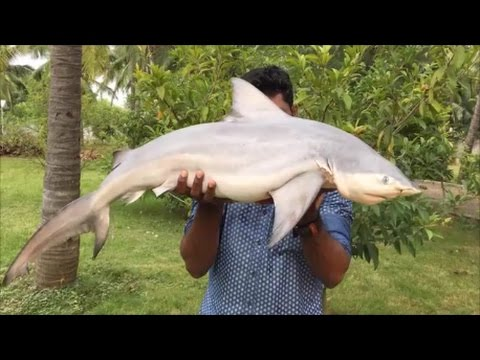 Cooking a 40 Pound Shark in My Village Cooking a Shark in the Traditional Way