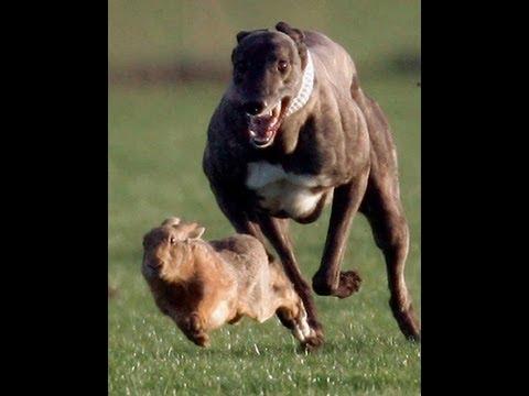 Khargosh Ka Shikar Rabbit Race Greyhound Parhal 2004 2005 Part 1