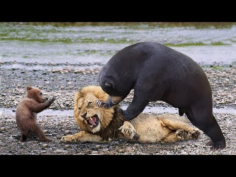 Lions is King But Fail Mother Bear Save Her Baby From Puma Hunting Giraffe vs Lions