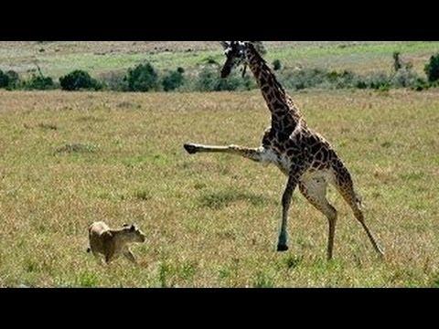 Pelea a muerte jirafa vs leones
