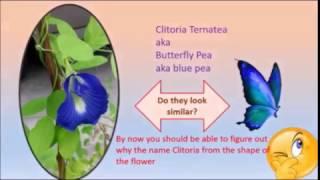 Blue tea from clitoria Ternatea aka butterfly pea .