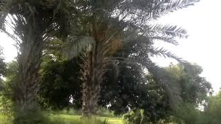 Pakistani Mangoes and Dates trees in Villages