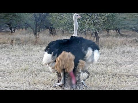 Xxx Mp4 Ostriches Mating In Front Of Tourists 3gp Sex