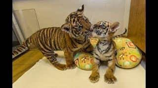 Special Cub Delivery - Sumatran Tiger Cub Meets Bengal Tiger Cub