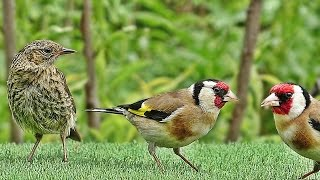 Birds : Gentle Bird Sounds in The Gentle Rain : Filmed in Slow Motion