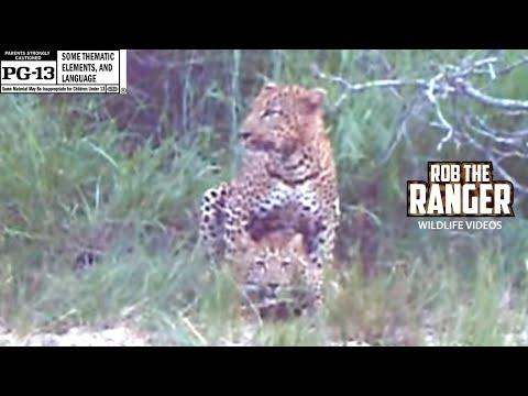 Xxx Mp4 WILDlife Mating Leopards In The Twilight 3gp Sex