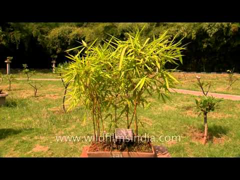 20 years old Dwarf Buddha belly bamboo (Bambusa vulgaris)