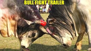 Sylhet Bangladesh Bull Fight Teaser Trailer (2015)