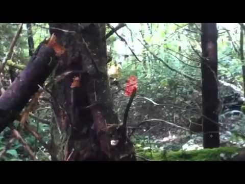 Amazing cloaking Bigfoot Caught on Camera Spooky Predator Style
