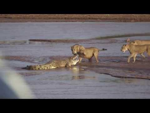 Lions vs. Crocodile Fight Samburu National Reserve Kenya August 6 2014