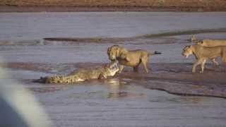 Lions vs. Crocodile Fight - Samburu National Reserve, Kenya (August 6, 2014)