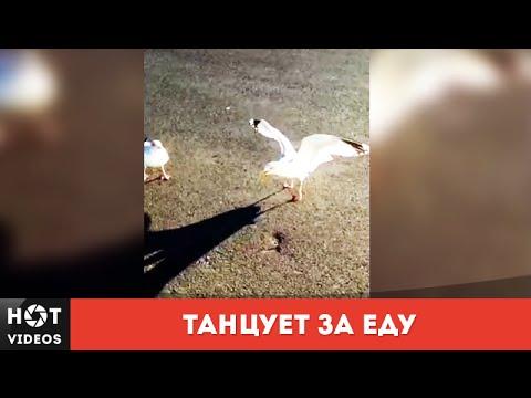 Xxx Mp4 Чайка танцует за еду HOT VIDEOS Смотреть видео HD 3gp Sex