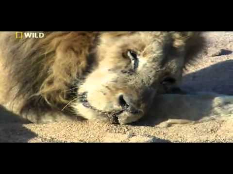 Last Moments of a Lion s Life