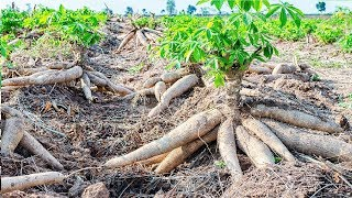 Asian Agriculture Technology Farm - Cassava Cultivation Farming and Harvesting