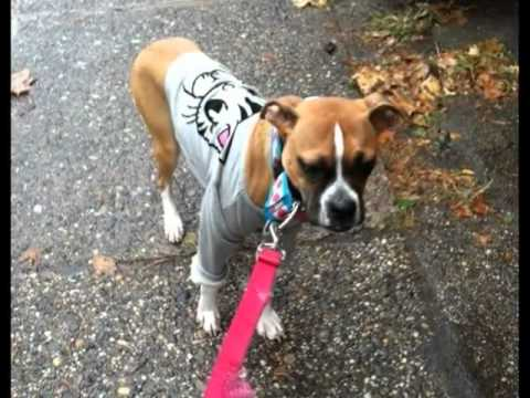 Tilly Adopt a Boxer Rescue s Luckiest Pet
