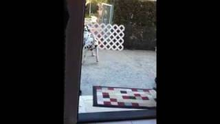 Dalmatian playing with Yorkie