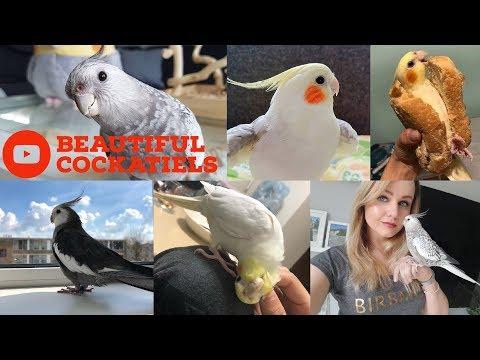 Cockatiels are the BEST Beautiful Birds Edition Happy Cockatiels Cockatiel Funny Videos