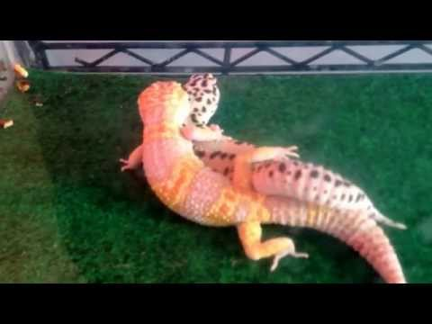 Xxx Mp4 Leopard Geckos Mating 3gp Sex