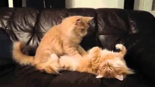 2 CATS having some intimate time!! | Land of Animals