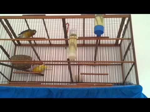 Canario começando fazer ninho