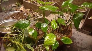 طريقة اكثار نبات الزينة ورقة الليمون