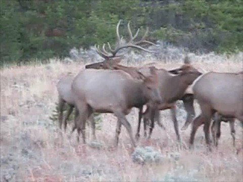 Teton Bull Elk