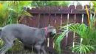 Great Dane Barking through the Fence