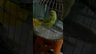 The parrot Taking mithu