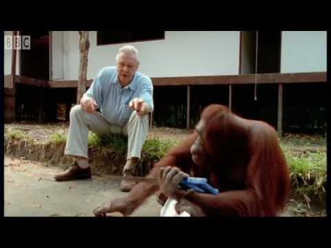 Xxx Mp4 Attenborough Amazing DIY Orangutans BBC Earth 3gp Sex