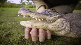Alligator Loves Chin Rubs From Zookeeper
