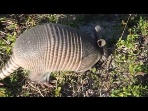 Curious armadillo jumps when poked