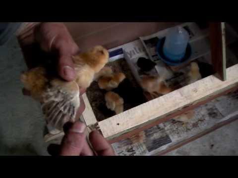 Kuluçka makinası. Civciv Bakımı Toprak Havuzu Ne İşe Yarar