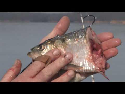 Giant Catfish MONSTER CATS DVD teaser