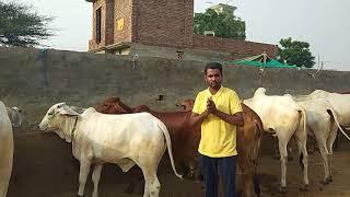 Deshi cow breeding