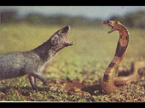 VIDEO Cobra Vs mongoose fight caught on camera INDIA