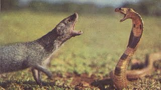 VIDEO: Cobra Vs mongoose fight caught on camera | INDIA