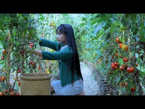 抢在番茄掉果之前,全收回来弄点� 吃的——红宝石番茄酱 Red Sapphire Tomato Sauce Liziqi Channel
